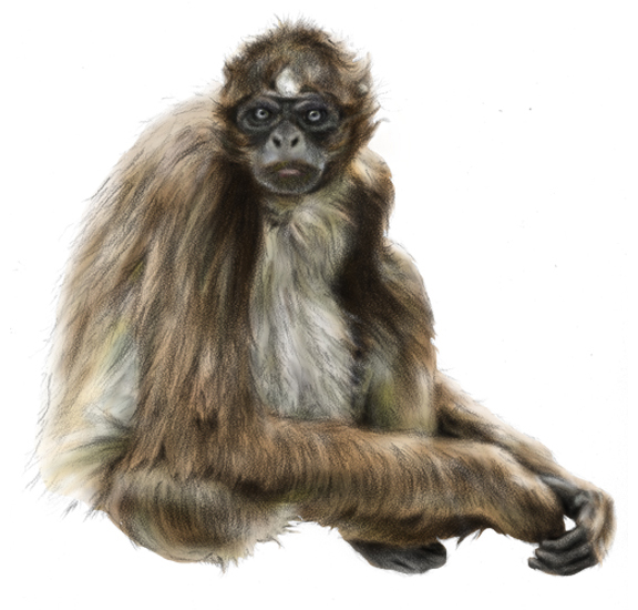Brown Spider Monkey (<em>Ateles hybridus</em>), coquille with digital color