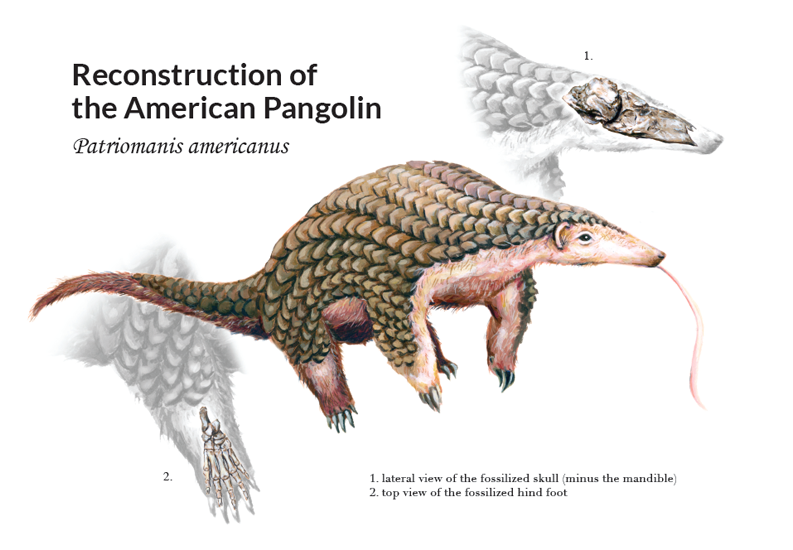 Reconstruction of <em>Patriomanis americanus</em>, acrylic