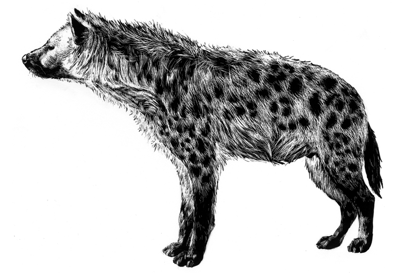 Spotted Hyena (</em>Crocuta crocuta</em>), ink on scratchboard