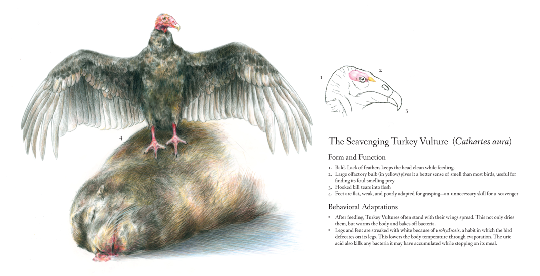 <em>A Scavenger's Adaptations</em>, colored pencil