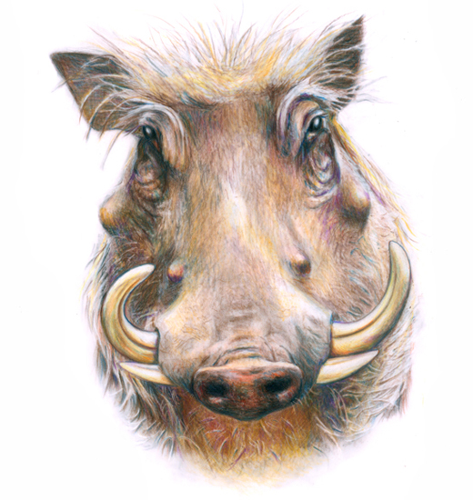 Warthog (<em>Phacochoerus africanus</em>), colored pencil