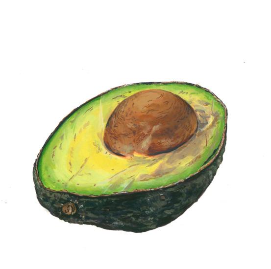 Avocado (<em>Persea americana</em>), gouache