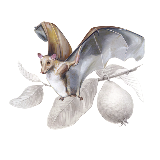 Gambian epauletted fruit bat and <em>Psidium guajava</em>, gouache and ink