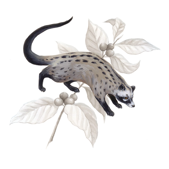 Asian palm civet and <em>Coffea arabica</em>, gouache and ink