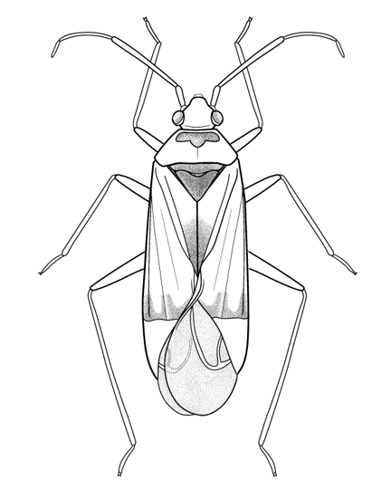 Genitalic morphology of <i>Miridae</i> species used to ID specimens, digital