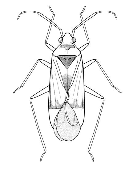 Genitalic morphology of <i>Miridae</i> species used to ID specimens, digital