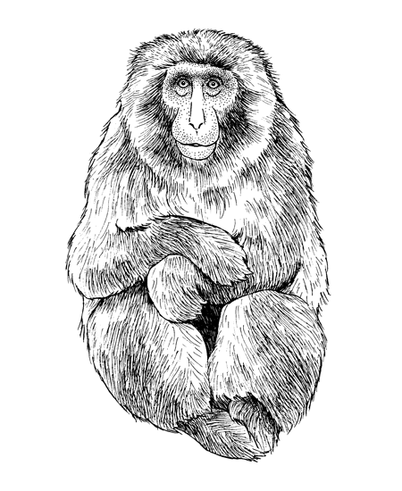 Japanese Macaque (<i>Macaca fuscata</i>), for the Lincoln Park Zoo (Chicago, IL)
