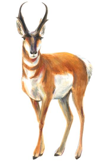 Pronghorn (<em>Antilocapra americana</em>), gouache