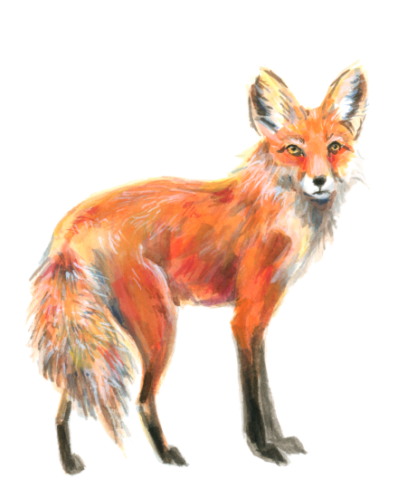 Red Fox (<em>Vulpes vulpes</em>), gouache