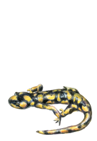 Tiger Salamander (<em>Ambystoma tigrinum</em>), gouache