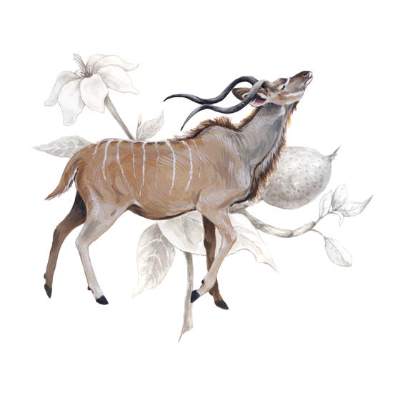 Greater kudu and <em>Gardenia thunbergia</em>, gouache and ink